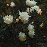 Frische rosa Rosen